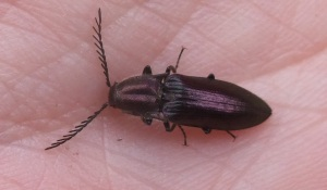 Coppery Click Beetle, Ctenicera cuprea - Kirsty Brown