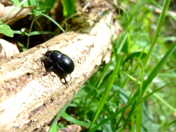 One of the Dung beetles - this is called a Dor Beetle (Geotrupes stercorarius). Copyright Kirsty Brown, NYMNPA.