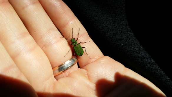 Green Tiger Beetle, Cicindela campestris - Kirsty Brown