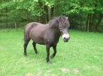 Exmoor ponies can be very effective conservation gaziers