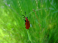 Red-headed Cardinal Beetle Pyrochroa serraticornis - Kirsty Brown