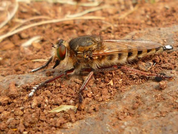 Robber fly, Asilidae sp in Gran Canaria - Kirsty Brown