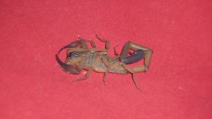 Scorpion in suitcase, Costa Rica - Kirsty Brown