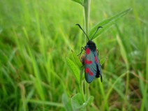 Six-spot Burnet Moth (Zygaena filipendulae) - copyright Kirsty Brown, NYMNPA.