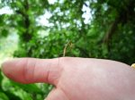 Tiny mantis in Costa Rica - Kirsty Brown