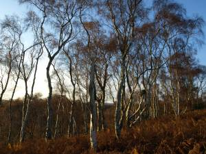 Typical birch woodland in the North York Moors - NYMNPA