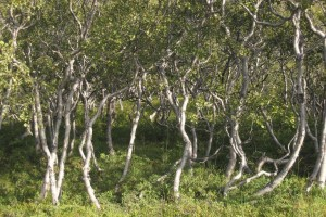 Typical Icelandic birch trees close up - by Josh von Staudach www.panoramio.com