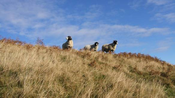 Blackface sheep on moorland. Copyright NYMNPA.