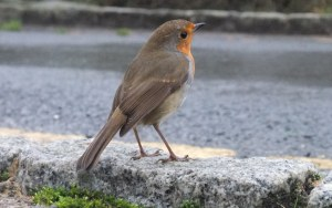 Roadside robin - Murk Esk Guided Walk - by Emily Collins, NYMNPA