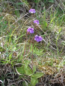 Butterwort growing on cliffs at Beast Cliff Special Area of Conservation (SAC) - John Beech