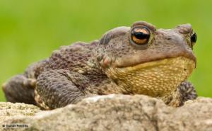Common toad (Bufo bufo) - by Steve Ratcliffe, from BBC website http://www.bbc.co.uk/nature/life/Common_Toad