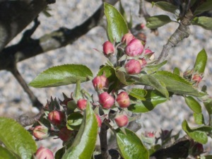 Apple blossom April 28th 2015 - Tricia Harris, Helmsley Walled Garden