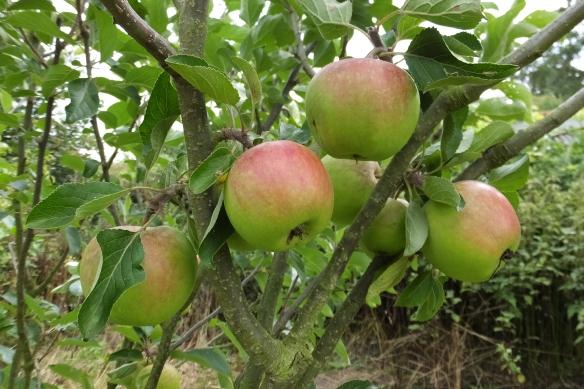 Apples - Orchards of Husthwaite