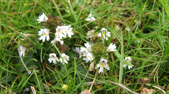Eyebright (Euphrasia sp) - copyright NYMNPA