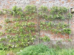 James Grieve Apple Tree - Tricia Harris, Helmsley Walled Garden
