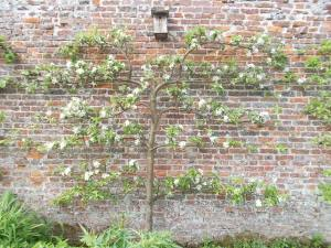 Worcester Pearmain Apple Tree - Tricia Harris, Helmsley Walled Garden