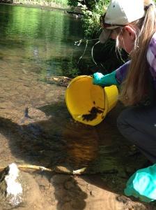 River Rye crayfish rescue 16 7 15 - Helen Webster, NYMNPA
