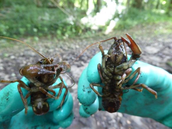 River Rye crayfish rescue 16 7 15 - Alex Cripps, NYMNPA