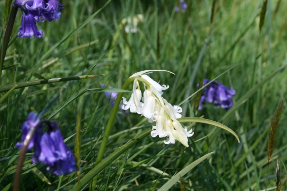 Not all bluebells are blue - photo from Dalby area, North York Moors