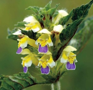 Large-flowered hemp-nettle - Patrick Ferguson, Cornfield Flowers Project Millennium Seed Bank Exhibition 2012