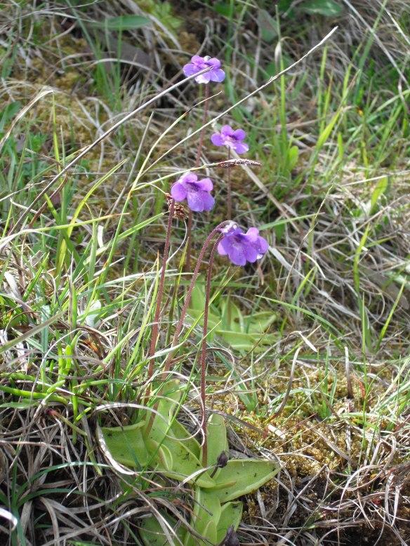 Butterwort, Beast Cliff - NYMNPA