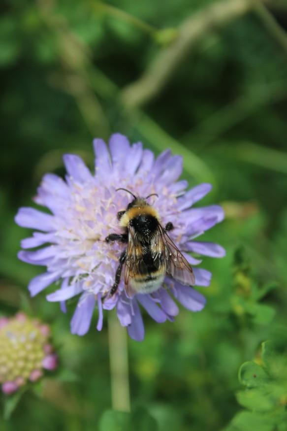Bumblebee - NYMNPA