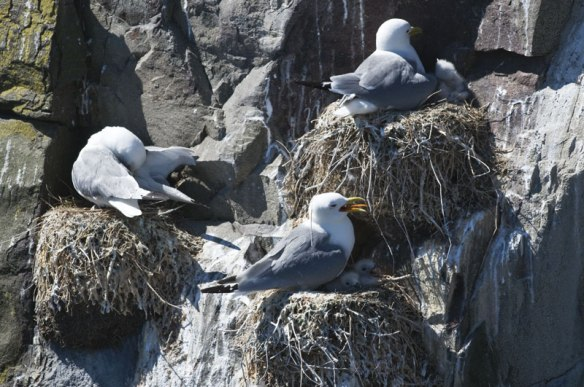 Kittiwakes - http://northeastwildlife.co.uk/