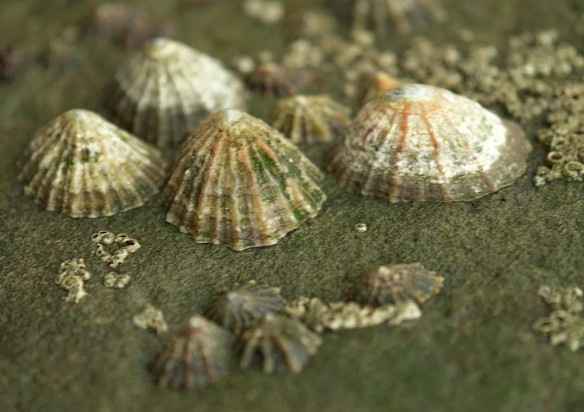 Limpets - http://northeastwildlife.co.uk/