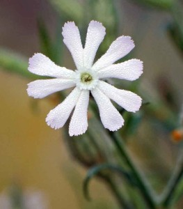 Night-flowering catchfly - Ian Carstairs, Cornfield Flowers Project Millennium Seed Bank Exhibition 2012