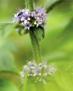 Corn mint - Ian Carstairs, Cornfield Flowers Project Millennium Seed Bank Exhibition 2012
