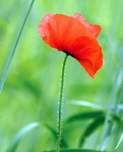 Common poppy - Patrick Ferguson, Cornfield Flowers Project Millennium Seed Bank Exhibition 2012