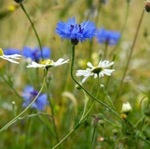 Cornfield Flowers - Patrick Ferguson, Cornfield Flowers Project Millennium Seed Bank Exhibition 2012