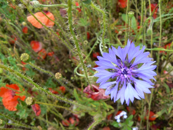 Silpho Cornfield - close up of cornflower - Alex Cripps, NYMNPA