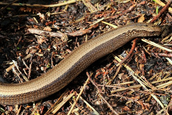 Slow worm - http://northeastwildlife.co.uk/
