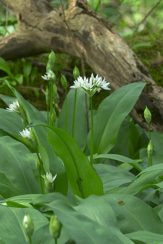 Wild garlic - http://northeastwildlife.co.uk/