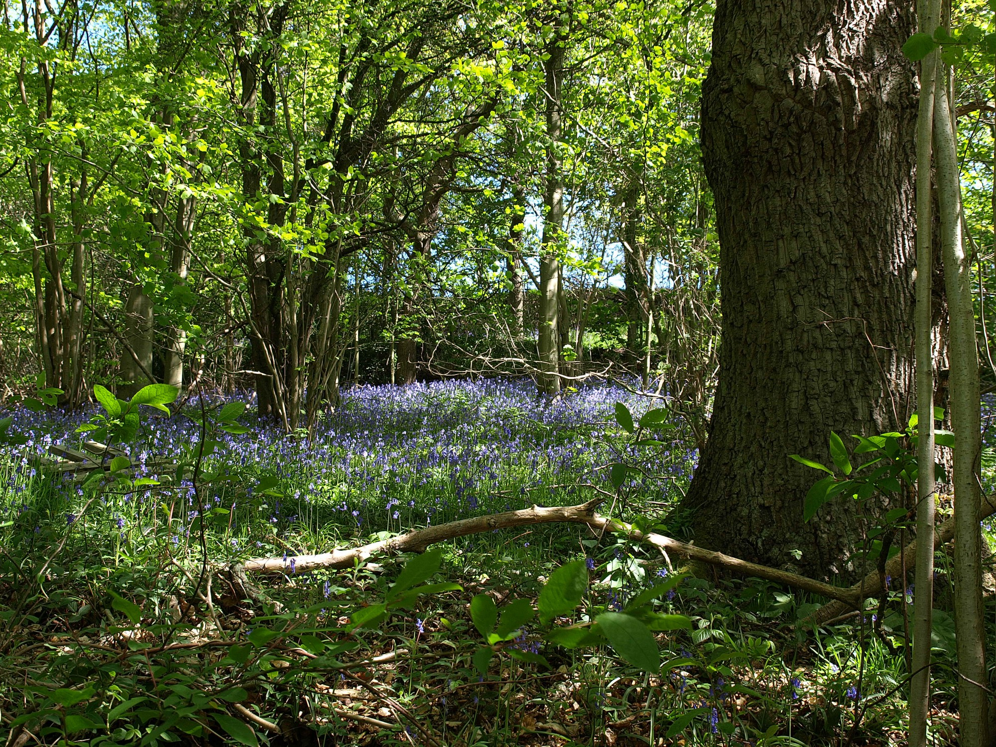 woodland the official blog for the north york moors national park woodland bluebells near hawnby copyright nymnpa