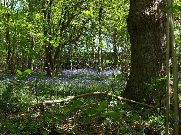 Woodland with bluebells, near Hawnby - copyright NYMNPA