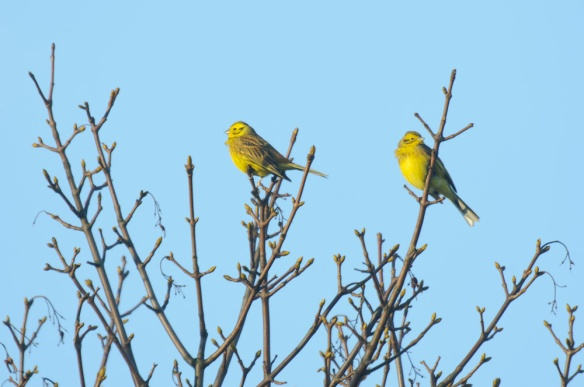 Yellowhammers - http://northeastwildlife.co.uk/