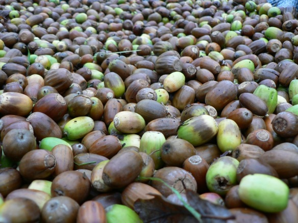 Acorns collected to be grown on - copyright NYMNPA