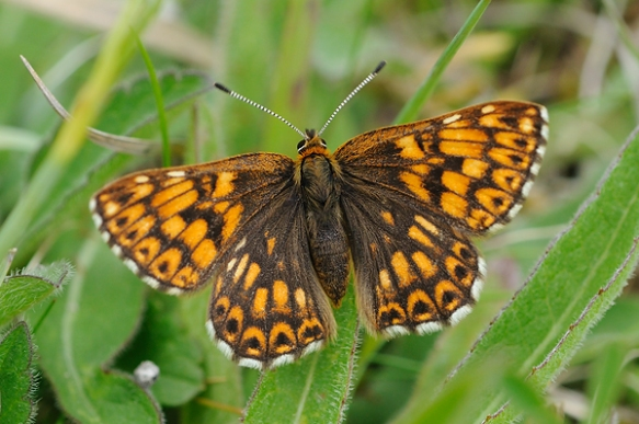 Duke of Burgundy female - www.britishbutterflies.co.uk