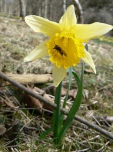 Wild daffodil, Rosedale - copyright NYMNPA