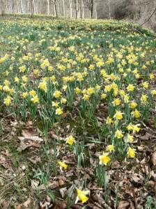 Wild daffodils - copyright NYMNPA