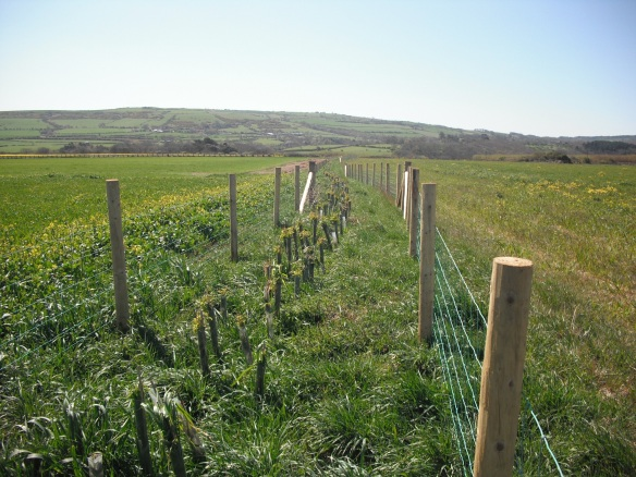 New hedgerow planted near Cowbar - copyright NYMNPA.