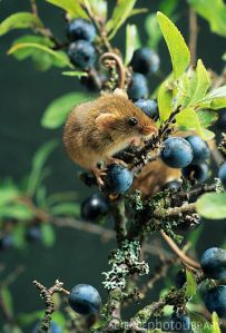 Harvest Mouse from sciencephoto.com