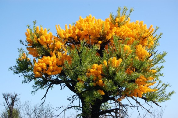 Western Australian Christmas Tree - http://www.floristtaxonomy.com/category/nuytsia
