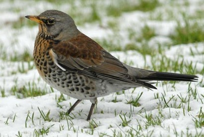 Fieldfare - http://static.guim.co.uk/sys-images/Guardian/About/General/2010/1/11/1263232128755/A-fieldfare-001.jpg