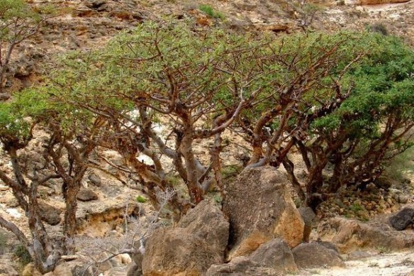 Frankinsence trees - http://www.kew.org/science-conservation/plants-fungi/boswellia-sacra-frankincense