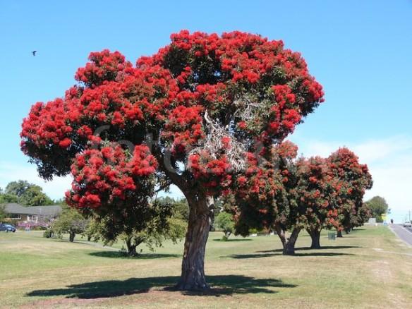 New Zealand Christmas Tree - http://www.fotolibra.com/gallery/88939/pohutikawa-trees-in-blossom-new-zealand/