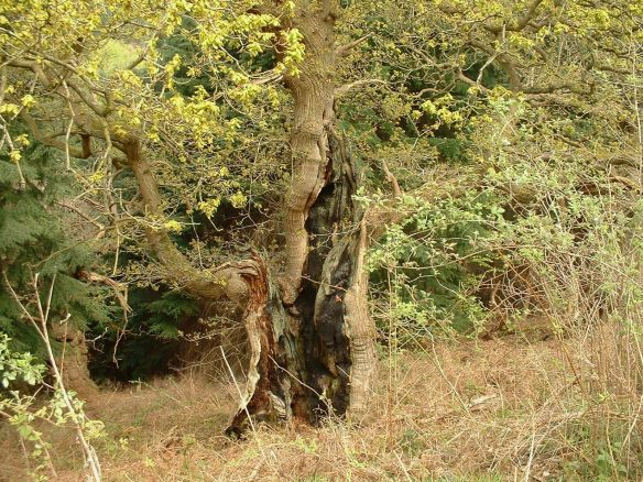 Veteran Oak - Deer Park, Helmsley - copyright NYMNPA