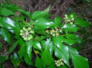 Older ivy plant - https://en.wikipedia.org/wiki/Hedera#/media/File:Ivy_fruits.JPG